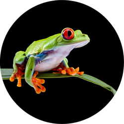 Red Eyed Tree Frog On A Leaf Sticker