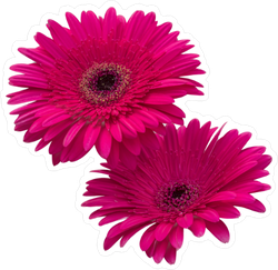 Red Gerbera Daisies Sticker