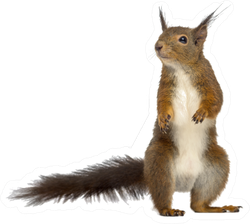 Red Squirrel In Front Of A White Background Sticker