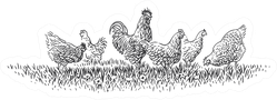 Rooster And Hens On Grass Illustration Sticker