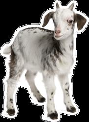 Rove Goat Kid, 1 Month Old Sticker