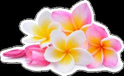 Set Of Beautiful White Pink Plumeria Flowers Sticker