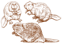 Set Of Beavers Hand Drawn Sticker