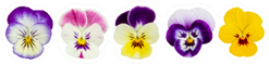Set Of Five Pansies Isolated On WhiteSticker