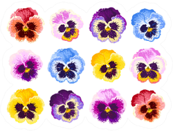 Set Of Pansy Flowers Vibrant Colors Sticker