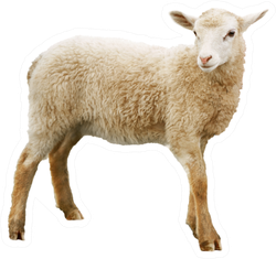 Sheep Isolated On White Background Sticker