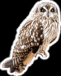 Short Eared Owl Sticker