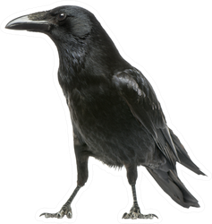 Side View Of A Carrion Crow Isolated On White Sticker