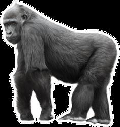 Silverback Gorilla Standing Sticker