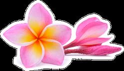 Single Pink Plumeria Flower On White Sticker