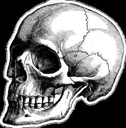 Skeleton Of The Human Head Vintage Engraved Illustration Sticker