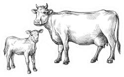 Sketches Of Cows And Calf Drawn By Hand Sticker