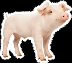 Smiling Baby Piglet Sticker