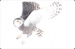 Snowy Owl Hunting Sticker