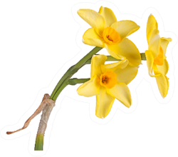 Stem With Three Yellow And Orange Daffodils Sticker
