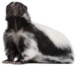 Striped Skunk Sticker