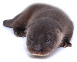 Stunning Baby River Otter Isolated On White Sticker