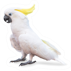 Sulphur Crested Cockatoo Isolated On White Sticker