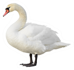 Swan Standing Isolated On White Sticker
