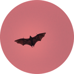 Terrible Horrible Bat Silhouette In Sky In Flight Sticker