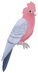 The Galah Parrot, Pink And Grey Cockatoo Sticker