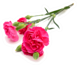 The Long Stem Carnation In Deep Pink Sticker