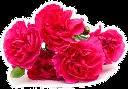 The Long Stem Carnations Deep Pink Pile Sticker