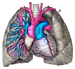 The Pulmonary Artery And Aorta Vintage Illustration Sticker
