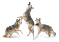 Three Coyotes Jumping In Snow Sticker