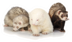 Three Ferrets Posing For Portrait Sticker
