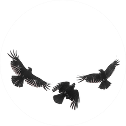 Three Isolated Carrion Crows In Flight Sticker