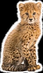 Three Months Old Cheetah Cub Sitting Sticker