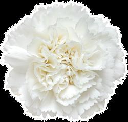 Top View Of White Carnation Flower Sticker