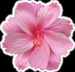 Top View Pink Hibiscus Flower Sticker