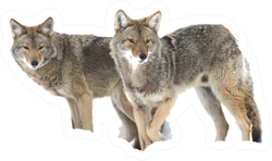 Two Coyotes Hunting In The Snow Sticker