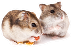 Two Dwarf Hamsters Sticker