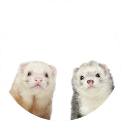 Two Ferrets Close-up Portrait Sticker