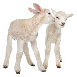 Two Little Lambs In Front Of White Sticker