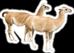 Two Llamas (isolated On White)
