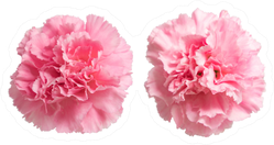 Two Pink Carnation Flowers Up Close Sticker