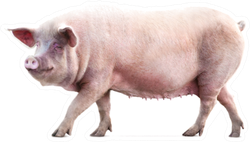 Walking Pig Isolated On White Sticker