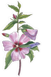 Watercolor Botanical Illustration Of Hibiscus Sticker