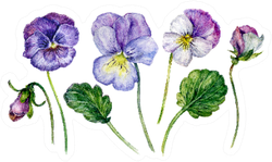 Watercolor Floral Collection Realistic Pansy Flowers Sticker