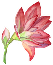 Watercolor Hand-drawn Pink Flower Blossom Lily Sticker
