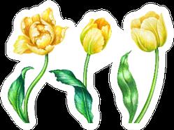 Watercolor Illustration Three Yellow Tulips Sticker