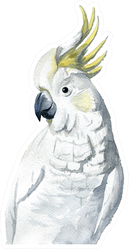 Watercolor Painting - Cockatoo (white And Yellow) Sticker