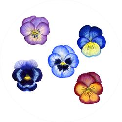 Watercolor Pansy Flowers Compilation Sticker