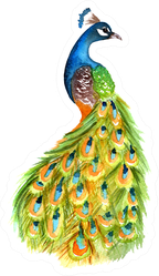 Watercolor Peacock Colorful Illustration Painting Sticker