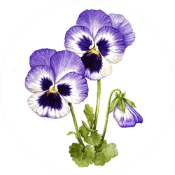 Watercolor With Purple Pansies Flower Sticker