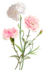 White And Pink Carnation Flowers Isolated Sticker